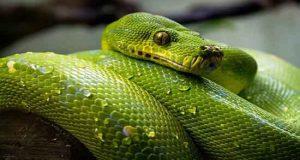 عصای کلکسیونی منبت کاری شده طرح مار مدل Smooth Snake